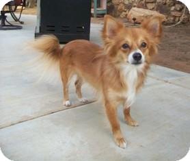 Tustin Ca Pomeranian Meet Wiz A Pet For Adoption