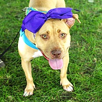 Adopt A Pet :: Lolly Rue-Pending! - Detroit, MI