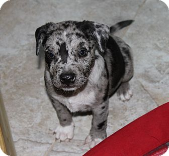 West Palm Beach Fl Catahoula Leopard Dog Meet Tiger Lilly A Pet For Adoption