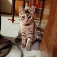 Adopt A Pet :: Amber - New Freedom, PA