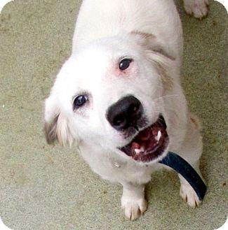 English Setter Mix Dog for adoption in Manhasset, New York - Max