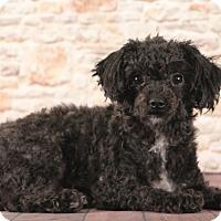 Adopt A Pet :: Boo Boo - Starkville, MS