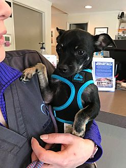 Adopt A Pet :: Russel  - Renton, WA