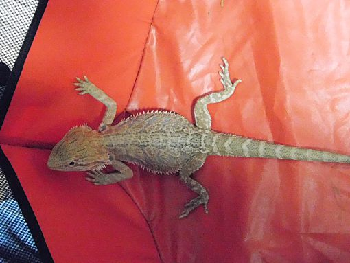 My Name Is Shade.Souderton Pa Lizard Meet Shade A Pet For Adoption