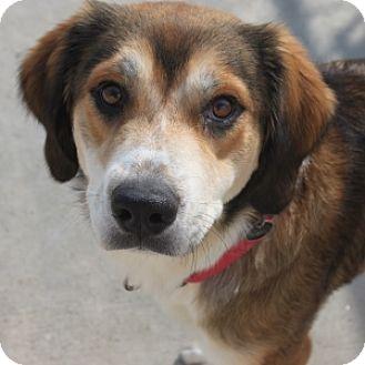 Collie Mix Dog for adoption in Naperville, Illinois - Bonnie