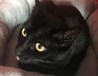 Adopt A Pet :: Black Betty  - Devon, PA