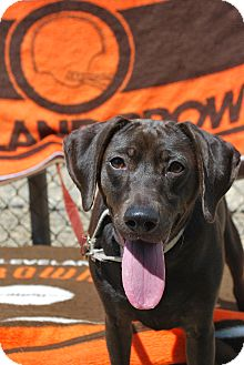 Retriever (Unknown Type) Mix Dog for adoption in Berea, Ohio - Stormie