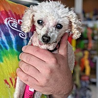 Poodle Miniature Puppies For Sale In Michigan Adoptapetcom