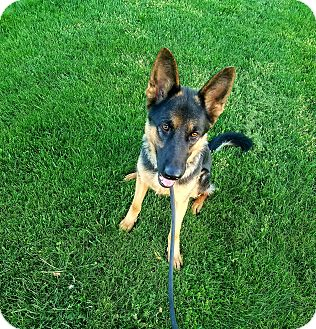 German Shepherd Dog Dog for adoption in Kouts, Indiana - Minnie