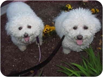Portland, OR - Bichon Frise  Meet Latte a Pet for Adoption