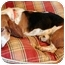 Photo 2 - Beagle Dog for adoption in Phoenix, Arizona - Augustus