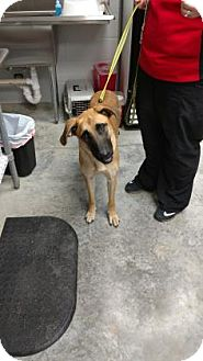 Great Dane/German Shepherd Dog Mix Dog for adoption in Paducah, Kentucky - Athena