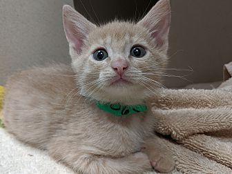 Adopt A Pet :: Shammy  - Laramie, WY