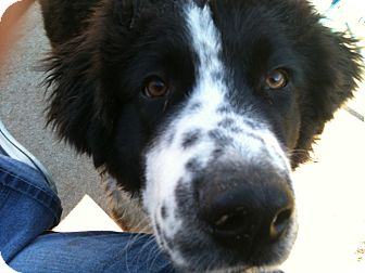 Landseer Dogs For Adoption