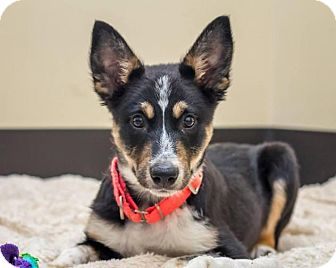 Bellingham Wa Border Collie Meet Little John A Pet For Adoption