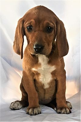 Mooresville Nc Redbone Coonhound Meet Snooki A Pet For Adoption