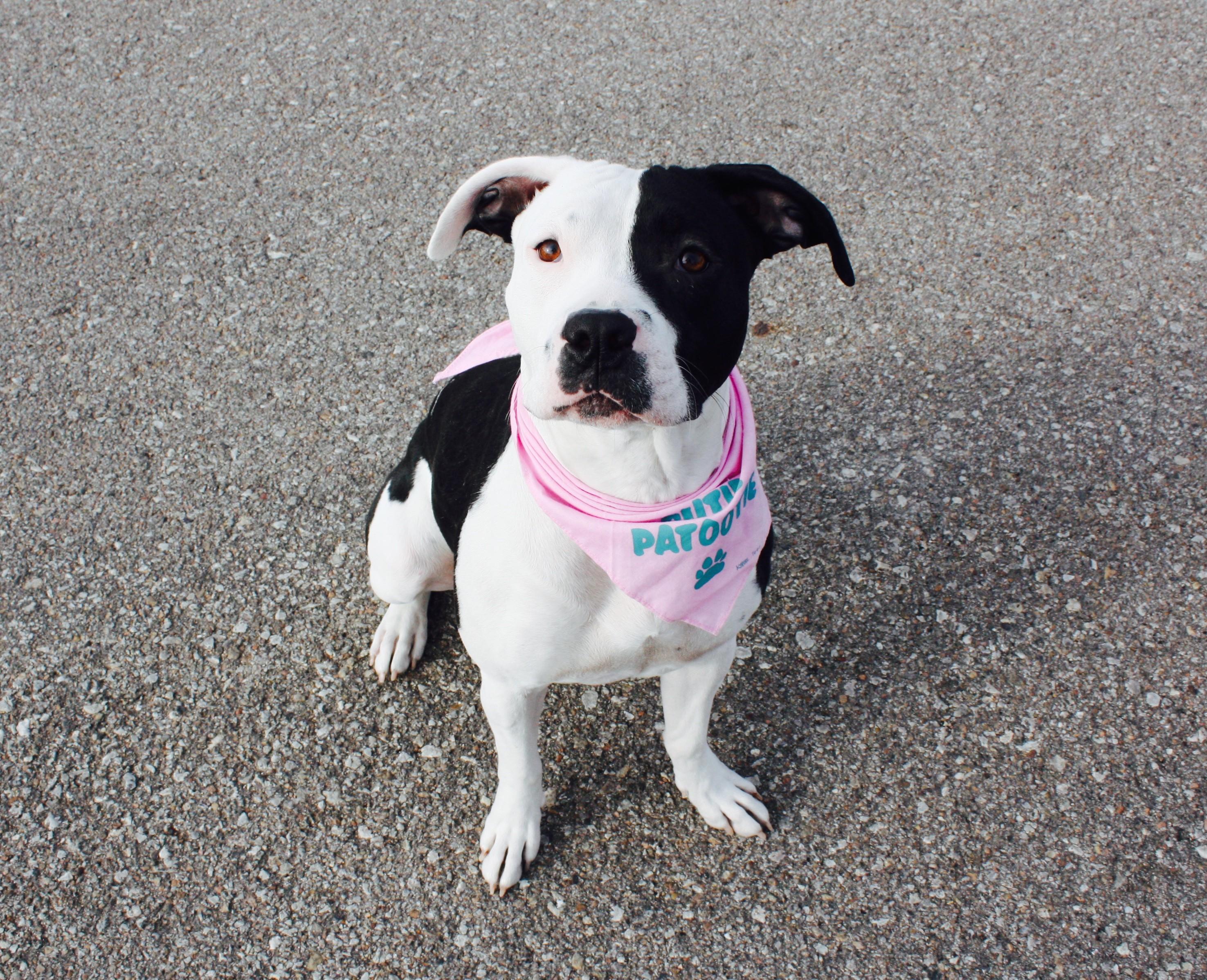 Manhattan KS Pit Bull Terrier Meet Annie a Dog for Adoption