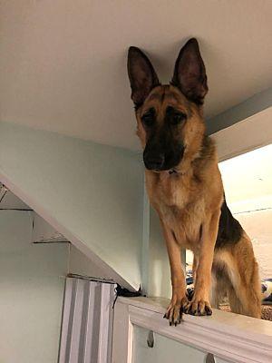 Roslyn Ny German Shepherd Dog Meet Penny A Pet For Adoption