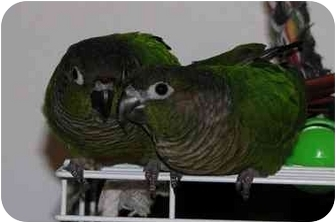Salt Lake City Ut Conure Meet Moncho Bonita A Pet For