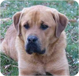 Mocksville Nc Golden Retriever Meet Briscoe A Pet For Adoption