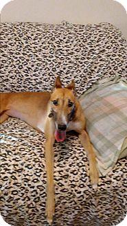 Greyhound Dog for adoption in Aurora, Ohio - Leslie
