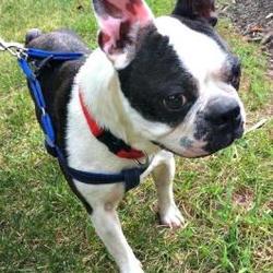 Boston Terrier Rescue Of North Carolina In Greensboro North Carolina