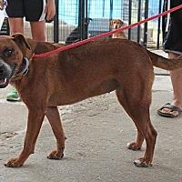 Terrier (Unknown Type, Medium)/Pit Bull Terrier Mix Dog for adoption in Leslie, Arkansas - Kit