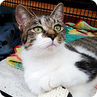 Domestic Shorthair Cat for adoption in Toronto, Ontario - Alex