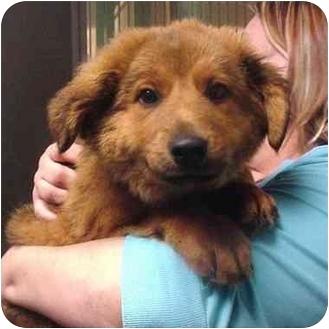Belgian Shepherd/Golden Retriever Mix Puppy for adoption in Manassas, Virginia - Rusty