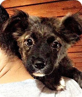Denver Co Australian Shepherd Meet Belize A Pet For Adoption