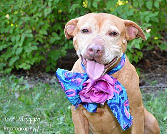 Adopt A Pet :: Josephine  - Troy, MI