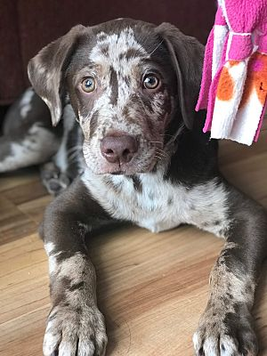 Atlanta Ga Catahoula Leopard Dog Meet Owen A Pet For Adoption