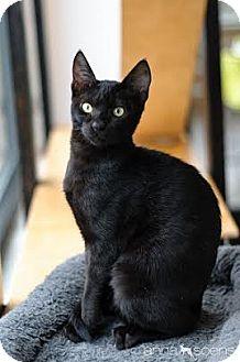 Siamese Cat Adoption Portland Oregon