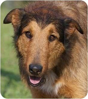 Providence Ri Collie Meet Whelan A Pet For Adoption
