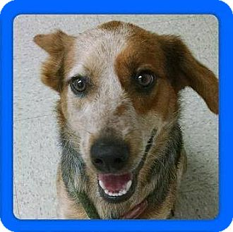Australian Cattle Dog/Blue Heeler Mix Dog for adoption in Guelph, Ontario - Thor