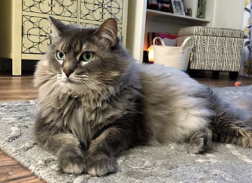Deland Fl Maine Coon Meet Baby Cat A Pet For Adoption