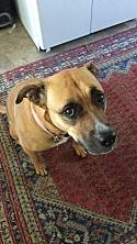 Adopt a Pet :: Roo - Portland, OR -  Rhodesian Ridgeback/Mastiff Mix