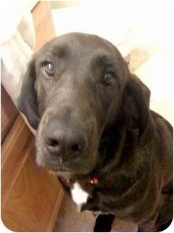 Jacksonville, NC - Treeing Walker Coonhound  Meet Jenny