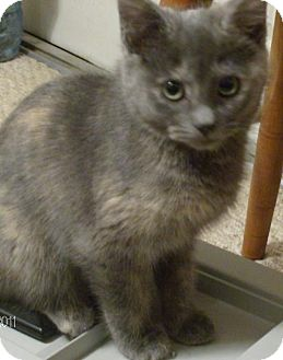 Domestic Shorthair Kitten for adoption in Vancouver, Washington - Elise