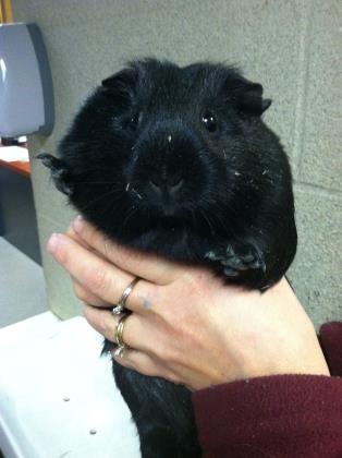 Cleveland Oh Guinea Pig Meet Matilda A Pet For Adoption