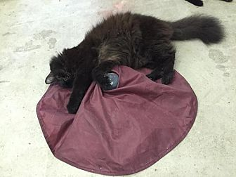 Domestic Longhair Cat for adoption in St. James City, Florida - Dylan