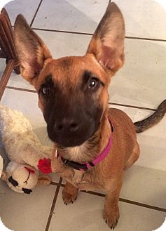 German Shepherd Dog Mix Puppy for adoption in KITTERY, Maine - MINKA