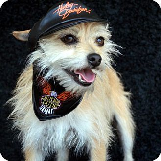 Bridgeton Mo Chihuahua Meet Peanut A Pet For Adoption
