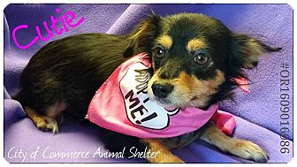 Chihuahua Mix Dog for adoption in Houston, Texas - Cutie