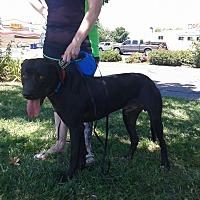 Weimaraner/Great Dane Mix Dog for adoption in Olivehurst, California - Buddy Weim