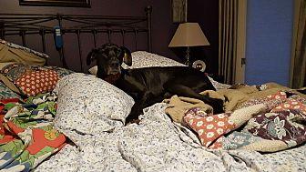 Adopt A Pet :: Aneela  - Phoenixville, PA
