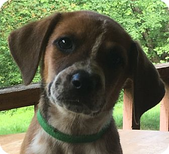 Blue Heeler/Beagle Mix Puppy for adoption in Spring Valley, New York - Green