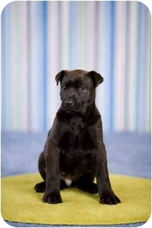 Labrador Retriever/German Shepherd Dog Mix Puppy for adoption in Portland, Oregon - Presley