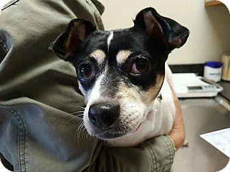 Rat Terrier Dog for adoption in Huntley, Illinois - JoJo