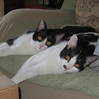 Domestic Shorthair Cat for adoption in Los Angeles, California - Miso & Mochi